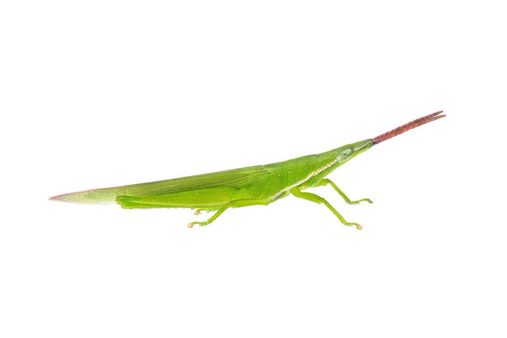 Grass Pyrgomorph (Atractomorpha similis)