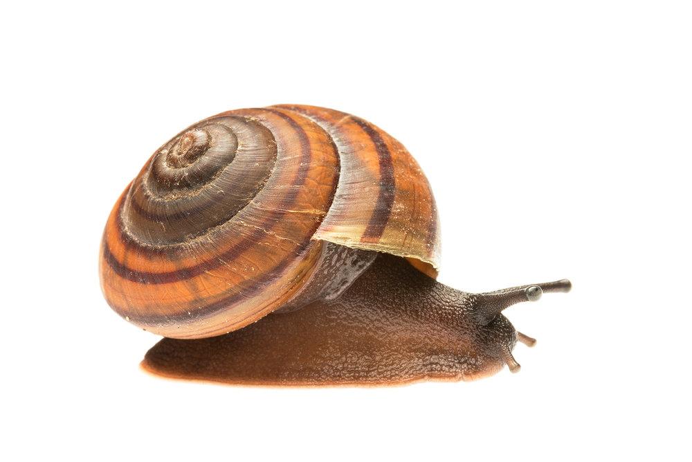 Fraser's Banded Snail (Sphaerospira fraseri)