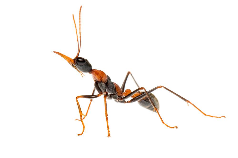 Jumper Ant (Myrmecia nigrocincta)