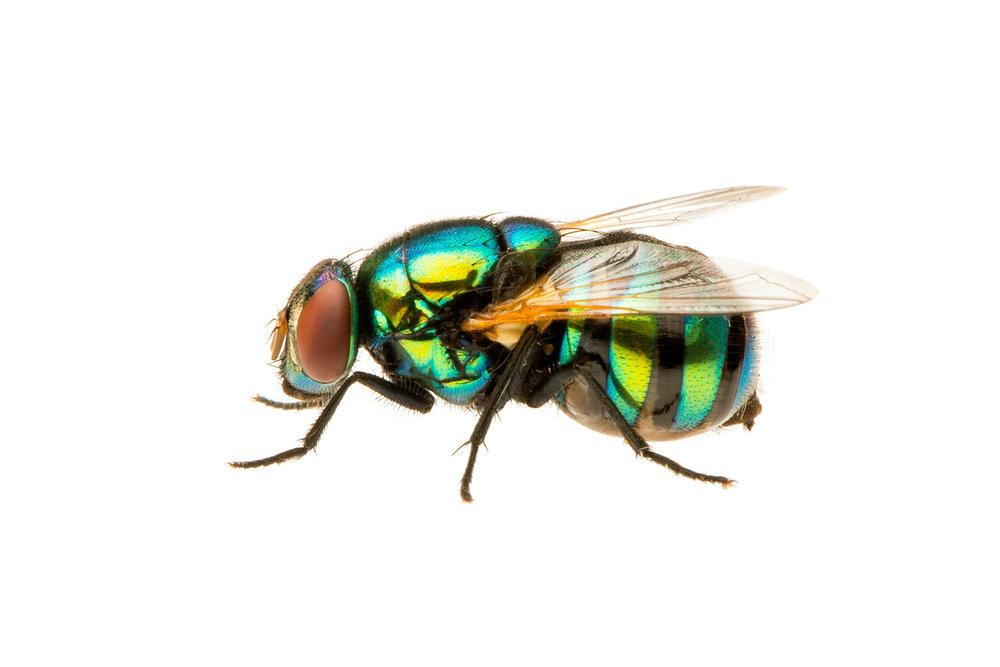 Blowfly (Chrysomya sp)