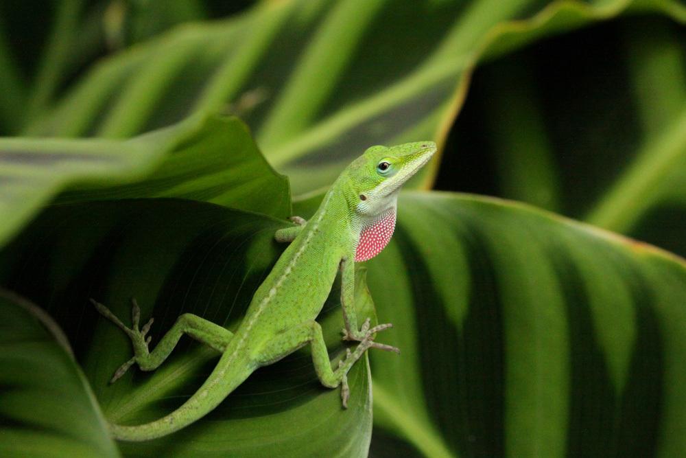 Anoli Lizard