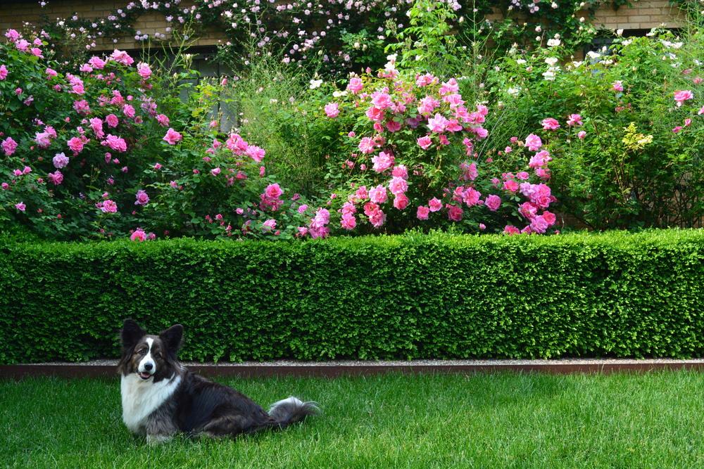 roses_hedge.jpg