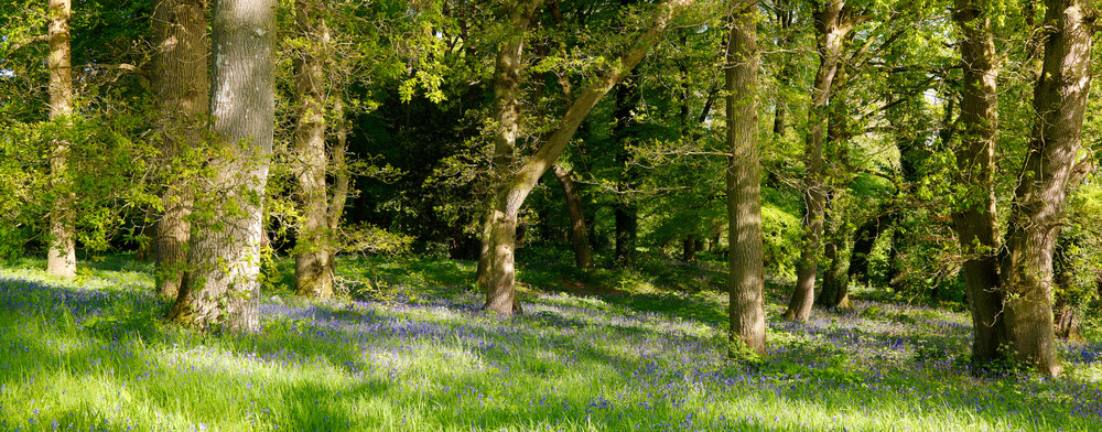 Mount_Juliet_Bluebell_Forest.jpg