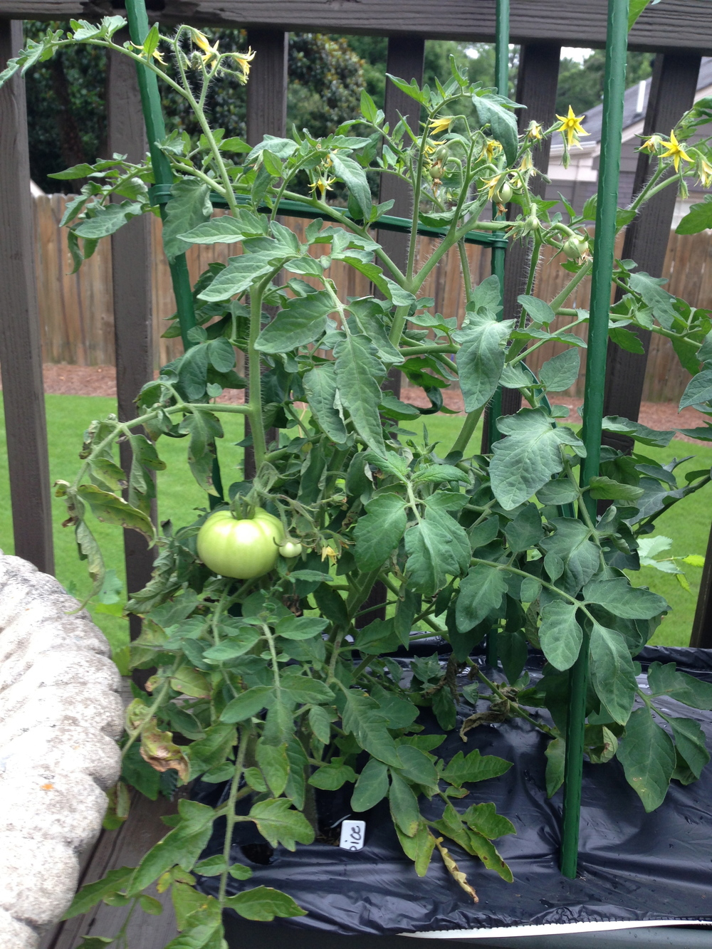 thriving tomato plants