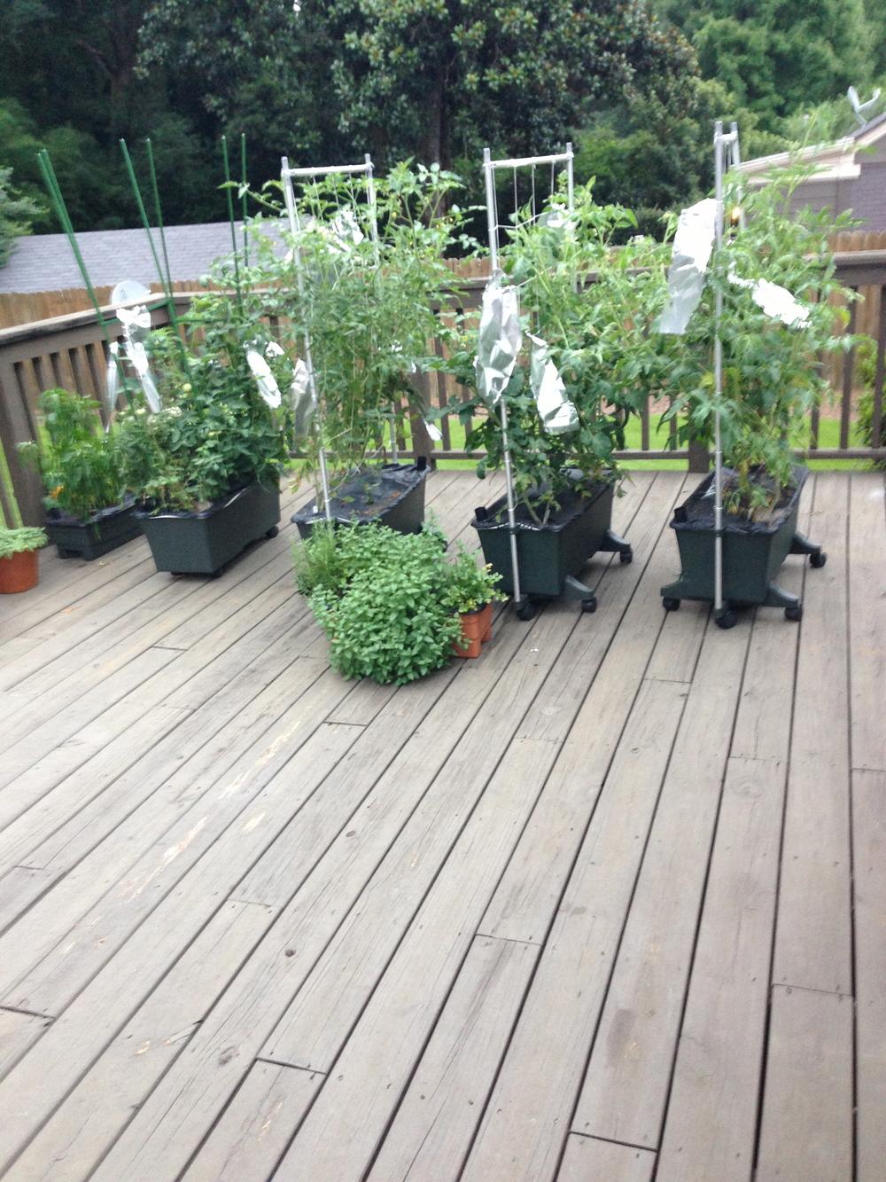 foil wraps (aka tomato plant highlights)