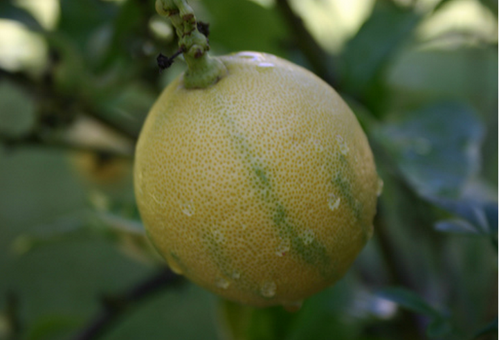 A lemon from my backyard lemon tree ©EnzieShahmiri