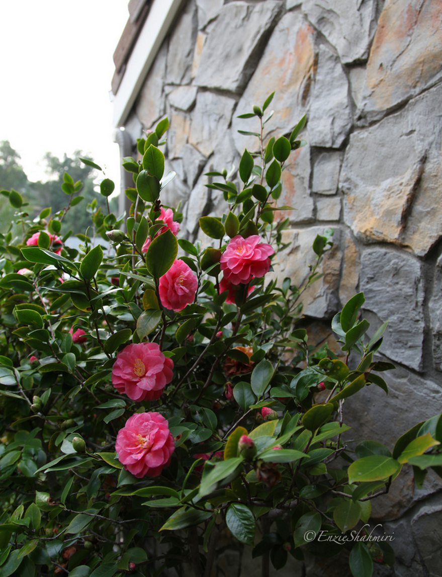 Camellia in my front yard brighten up a dreary grey looking day.