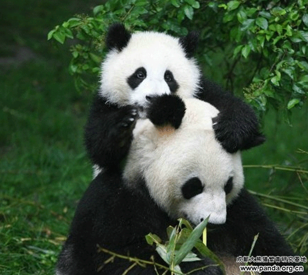 baby-and-mother-panda