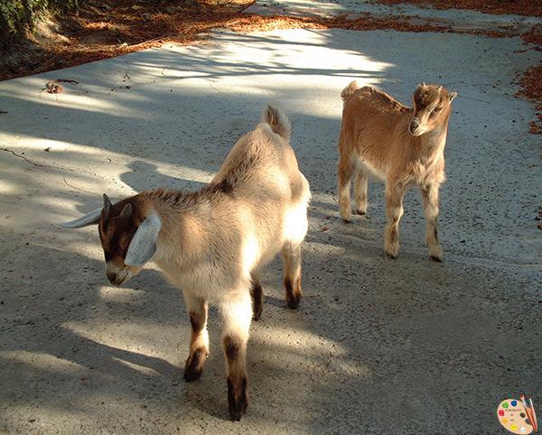 local-goats