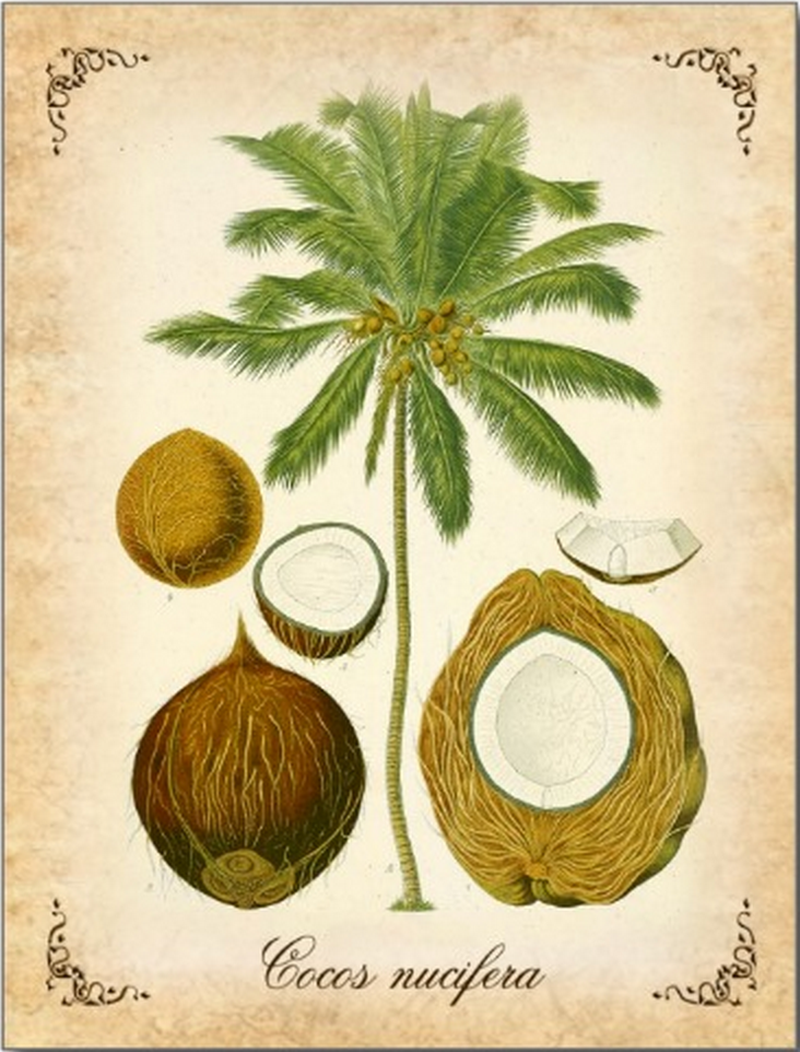 Coconut Vintage Illustration