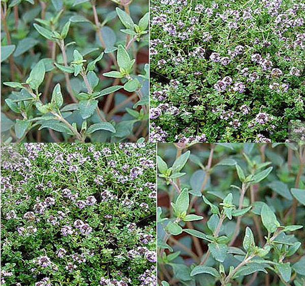 Thyme Seeds via All About Seeds