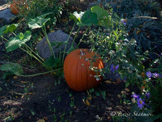 Pumpkin-in-Flower-Bed.jpg