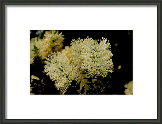 Scented Paperbark Print by Graham Palmer