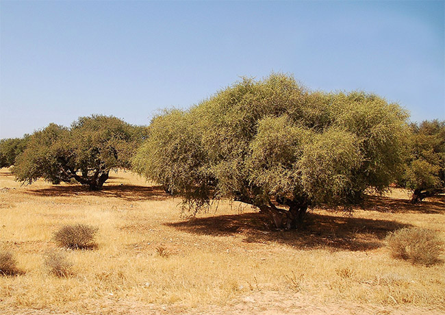 Argan Tree Grove via Wikipedi