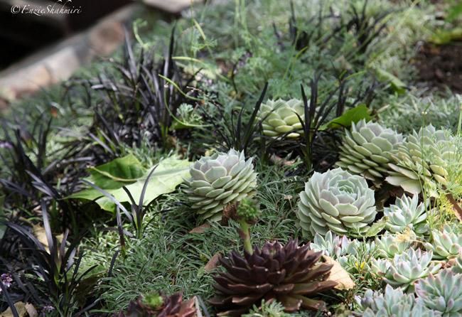 low-growing-succulents.jpg