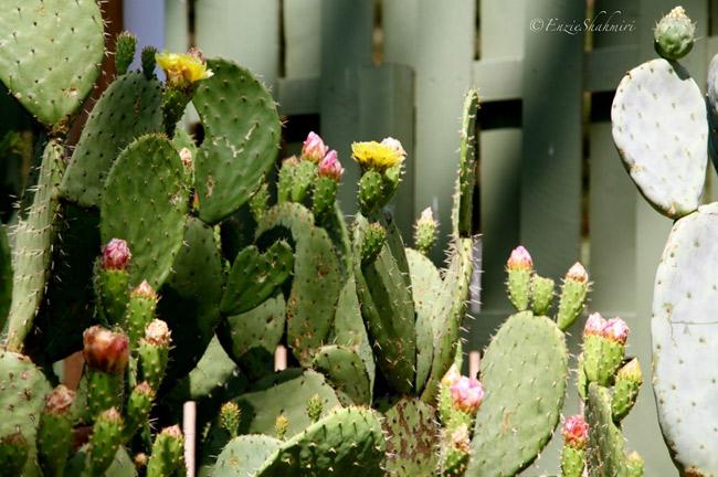 flowering-cacti.jpg