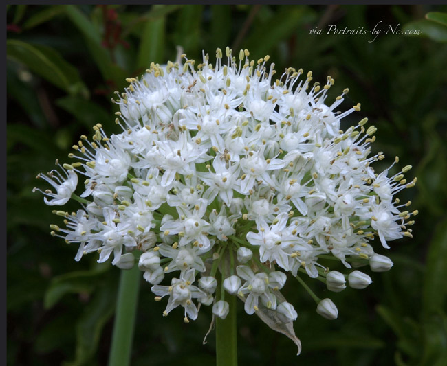 green-onion-flower-portraits-by-nc.com.jpg