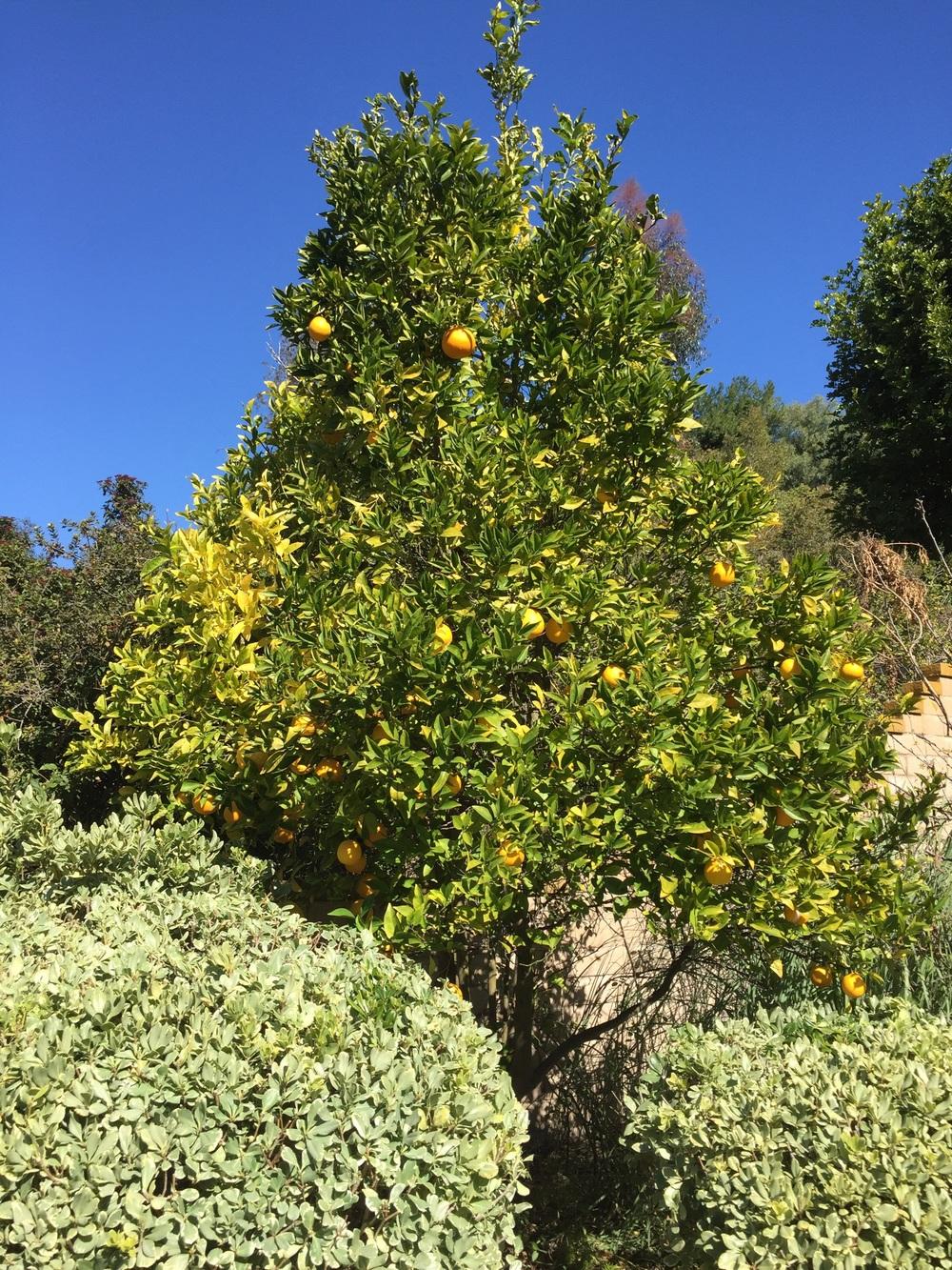 Lemon and Orange Tree