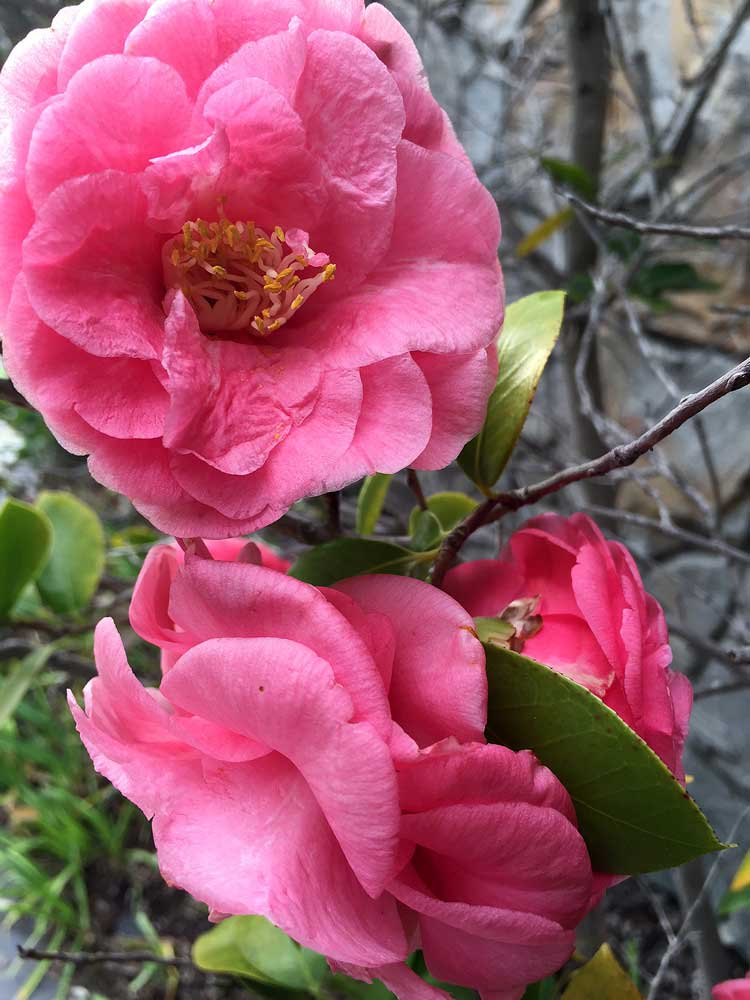 Camellias from my Garden