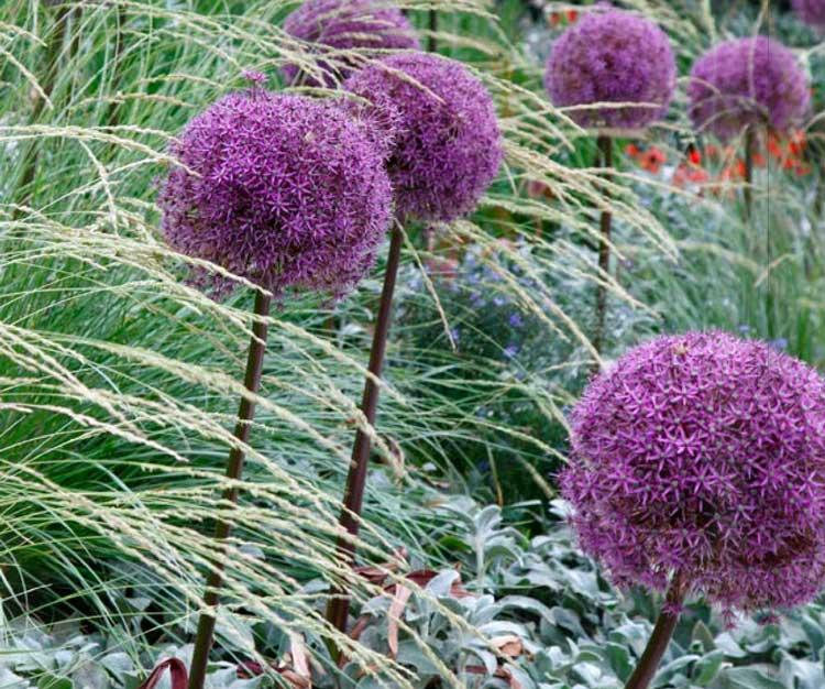 purple-allium.jpg
