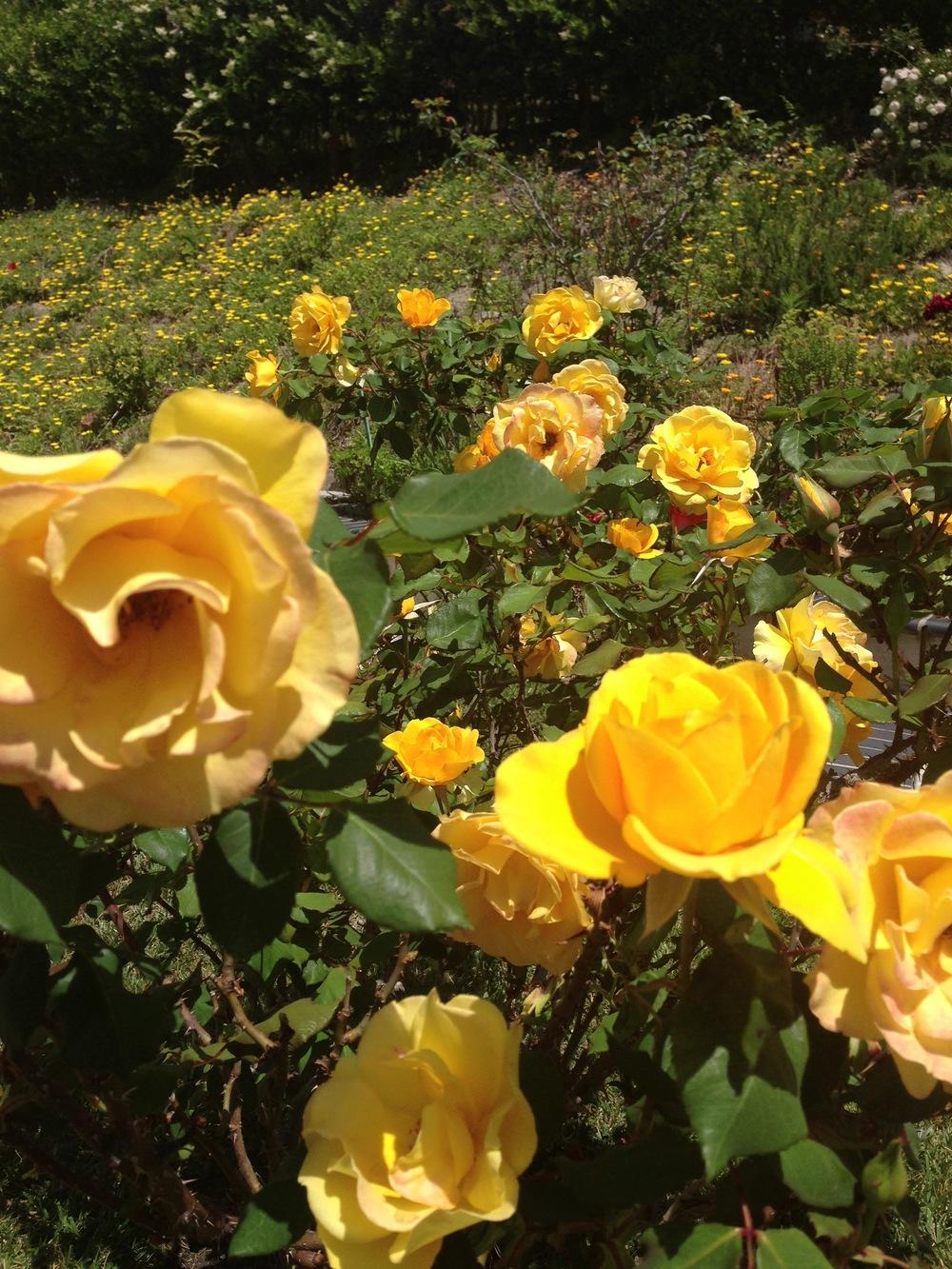 yellow-roses.jpg