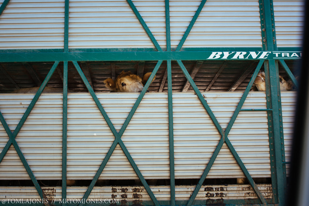 Cow looking out from truck