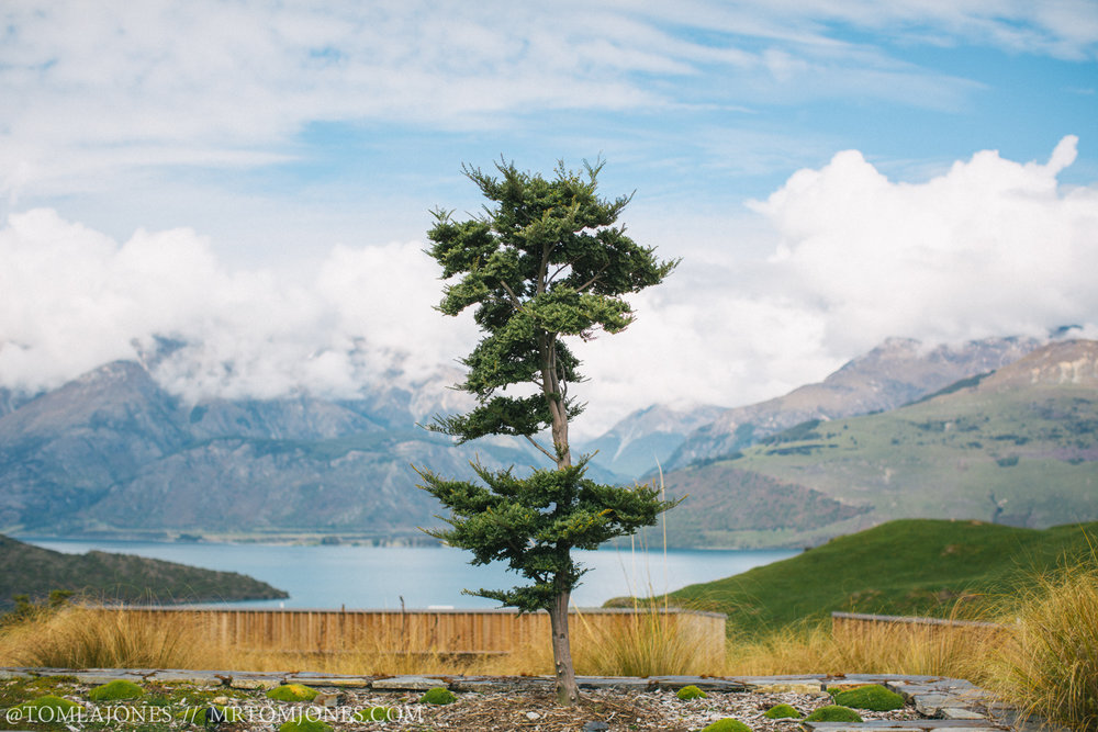 A young Beech tree enjoys the view from Aro Ha Wellness Retreat.