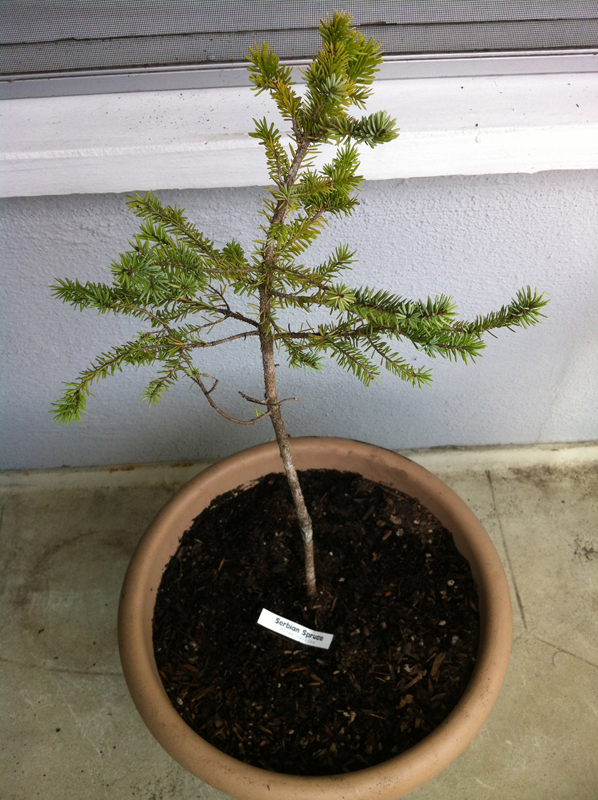 Jason Klassi, my partner of 33 years bought me a Serbian Spruce