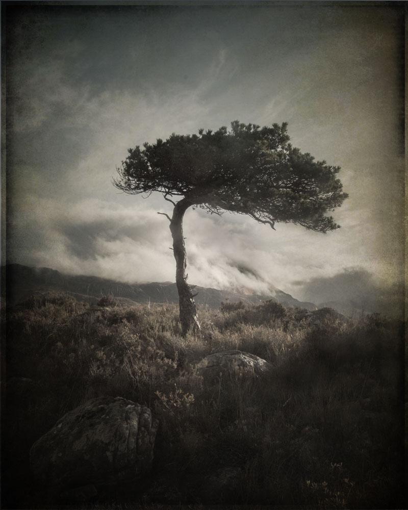 ScotsPine01.jpg