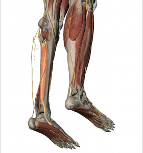 Fig 1: Tibialis Posterior