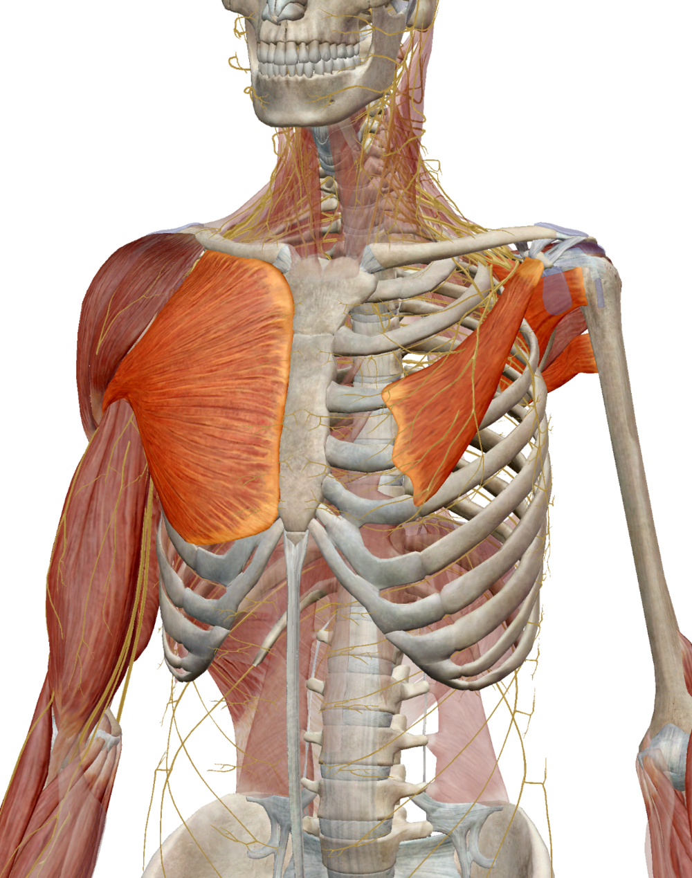 Highlighted Right to Left: Pectoralis Major, Pectoralis Minor, Subscapularis, Teres Major