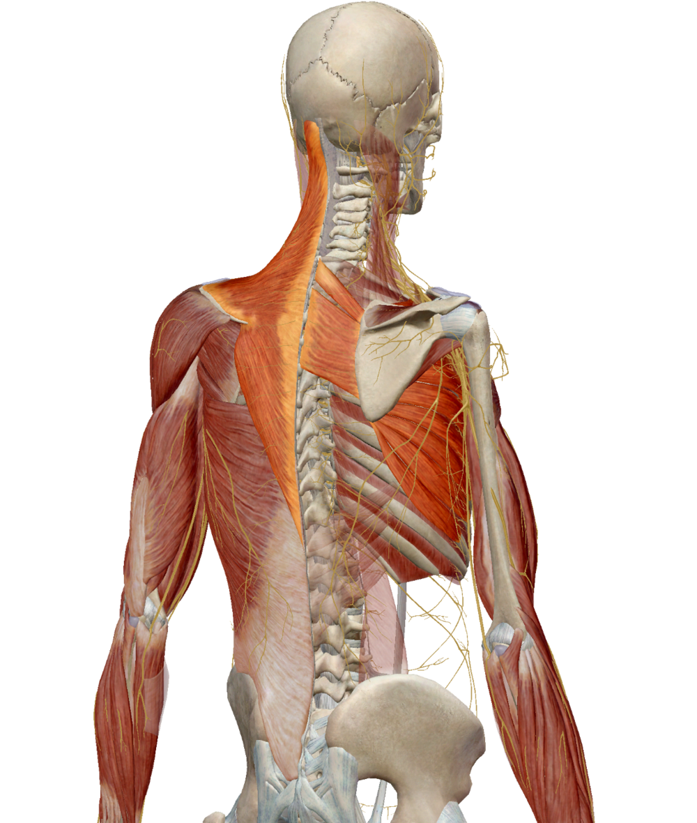 Highlighted muscles from Right to Left: Trapezius (down-sloping lower portion), Rhomboid Muscles and Serratus Anterior
