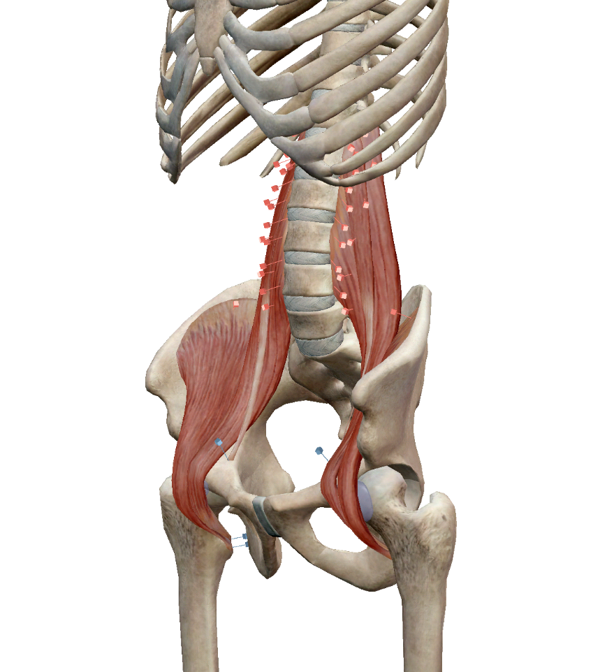 Hip flexor muscles: Iliacus, Psoas Major and minor