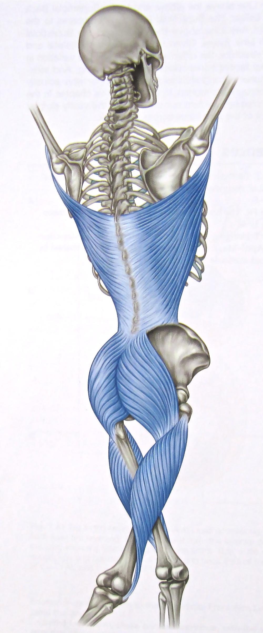 Thoraco-lumbar Fascia. *Taken from Thomas Myers 'Anatomy Trains'.