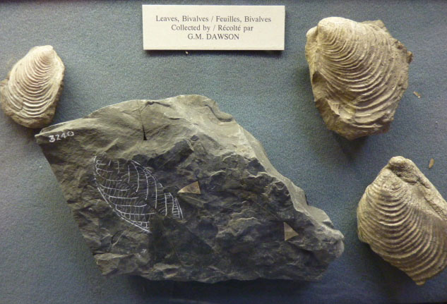 Plant and mollusc fossils collected by G.M. Dawson, 1880s.