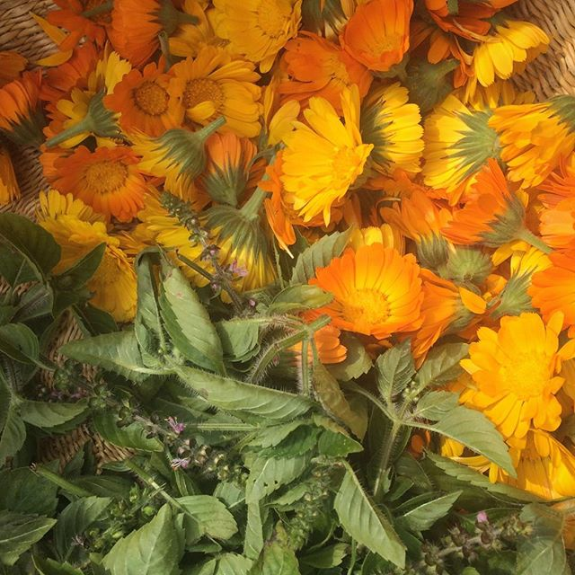 Today's harvest. #calendula #tulsi
