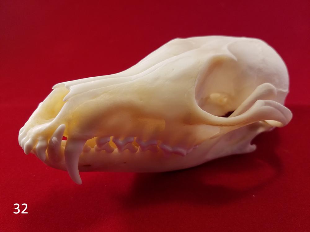 32 fox skull c.jpg