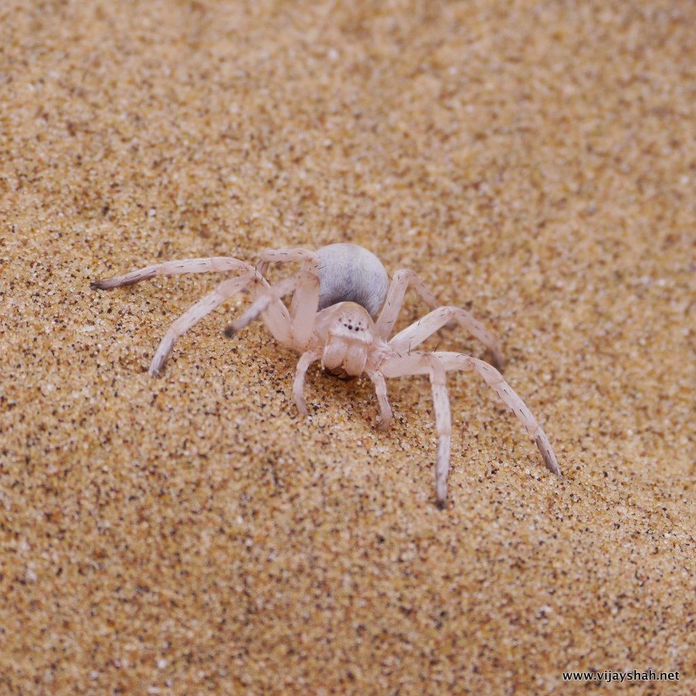 The Dancing White Lady Spider