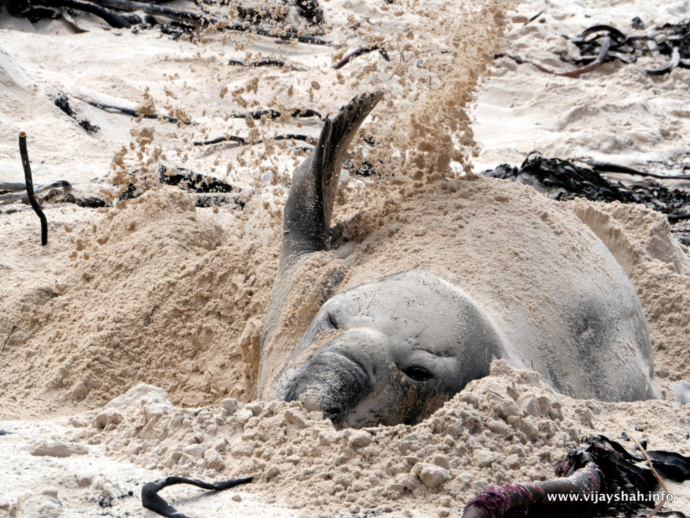 Being stuck on a beach without any shade for over four weeks can get pretty hot, especially when you have as much blubber as Buffel - but by burying himself in sand, Buffel can stay reasonably cool.