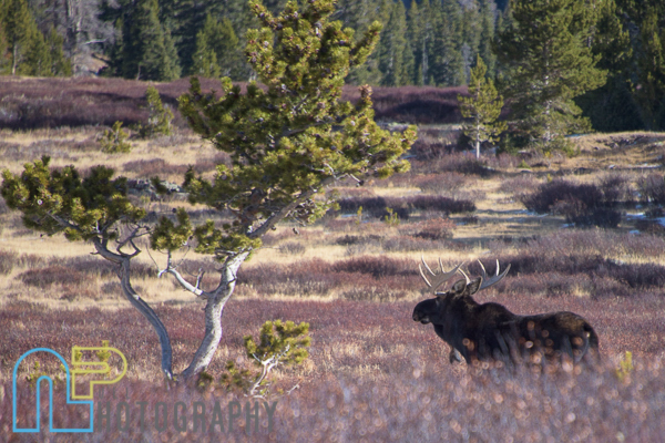 One of 6 moose we ran into.