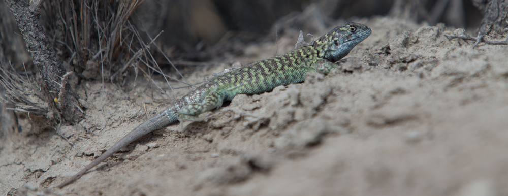 Lioaemus fitzingeri was a small yet colourful dragon lizard found all around Peninsula Valdes and Punta Loma.