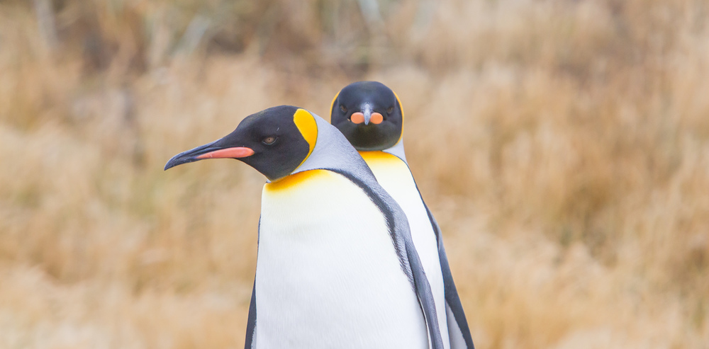 The many faces of penguins, Pt 2.