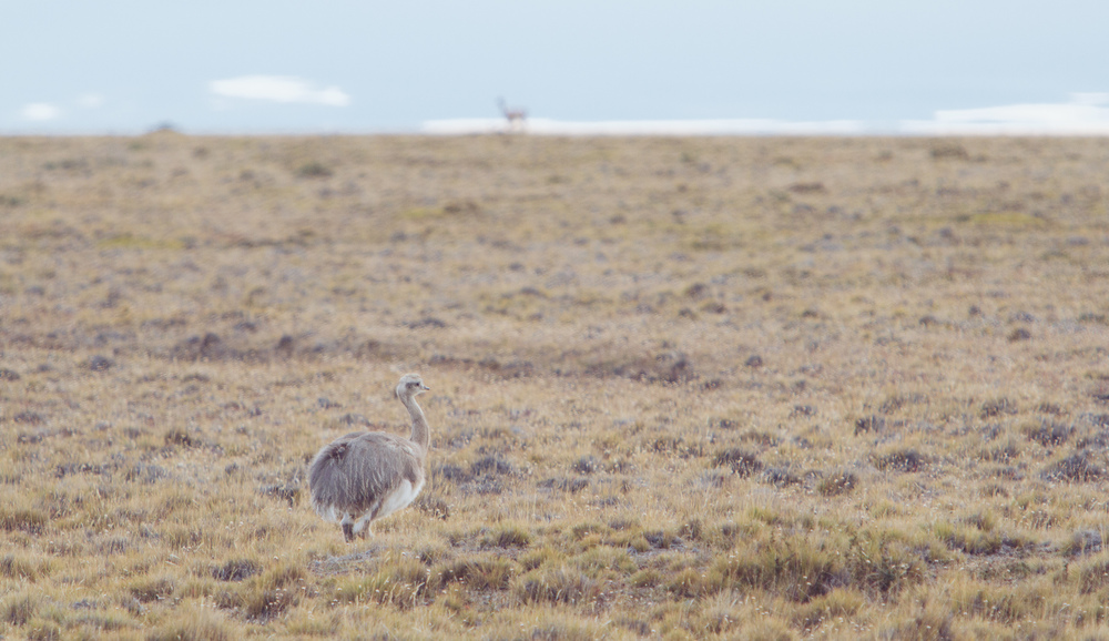 Rhea, a large flightless bird reminiscent of the Australian emu.