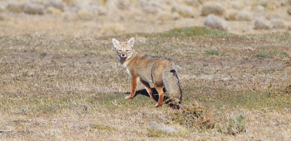 Patagonian Grey Fox.
