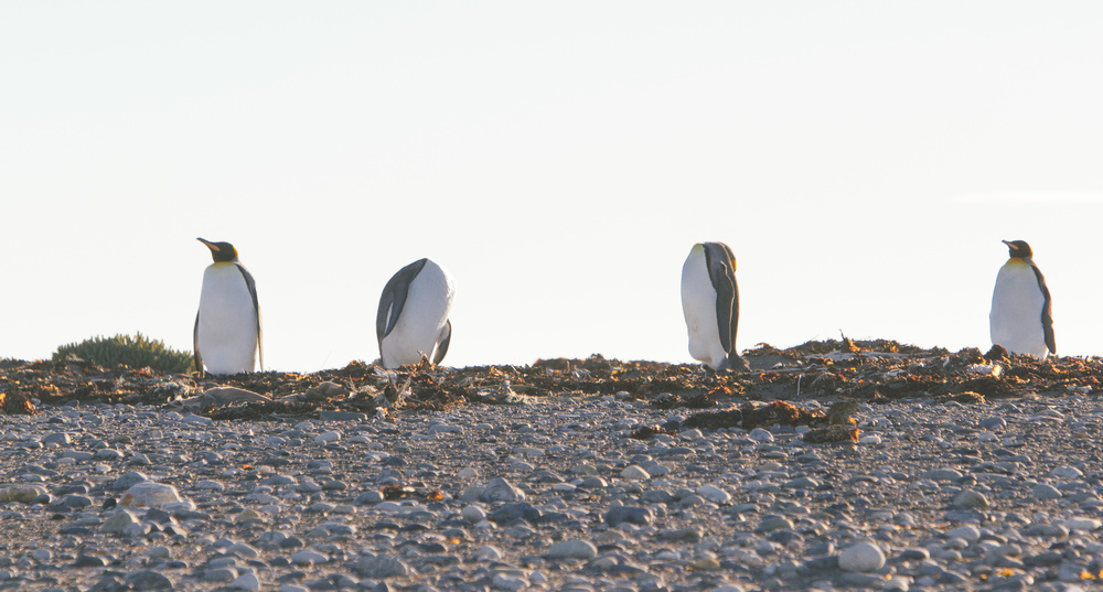The four penguins of the apocalypse.