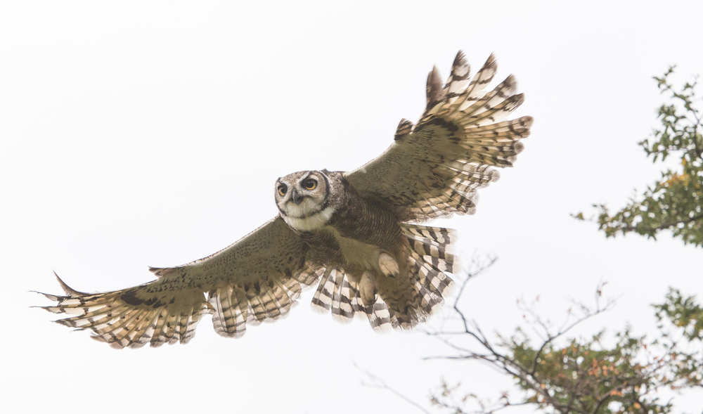 Thetucúquere takes flight.