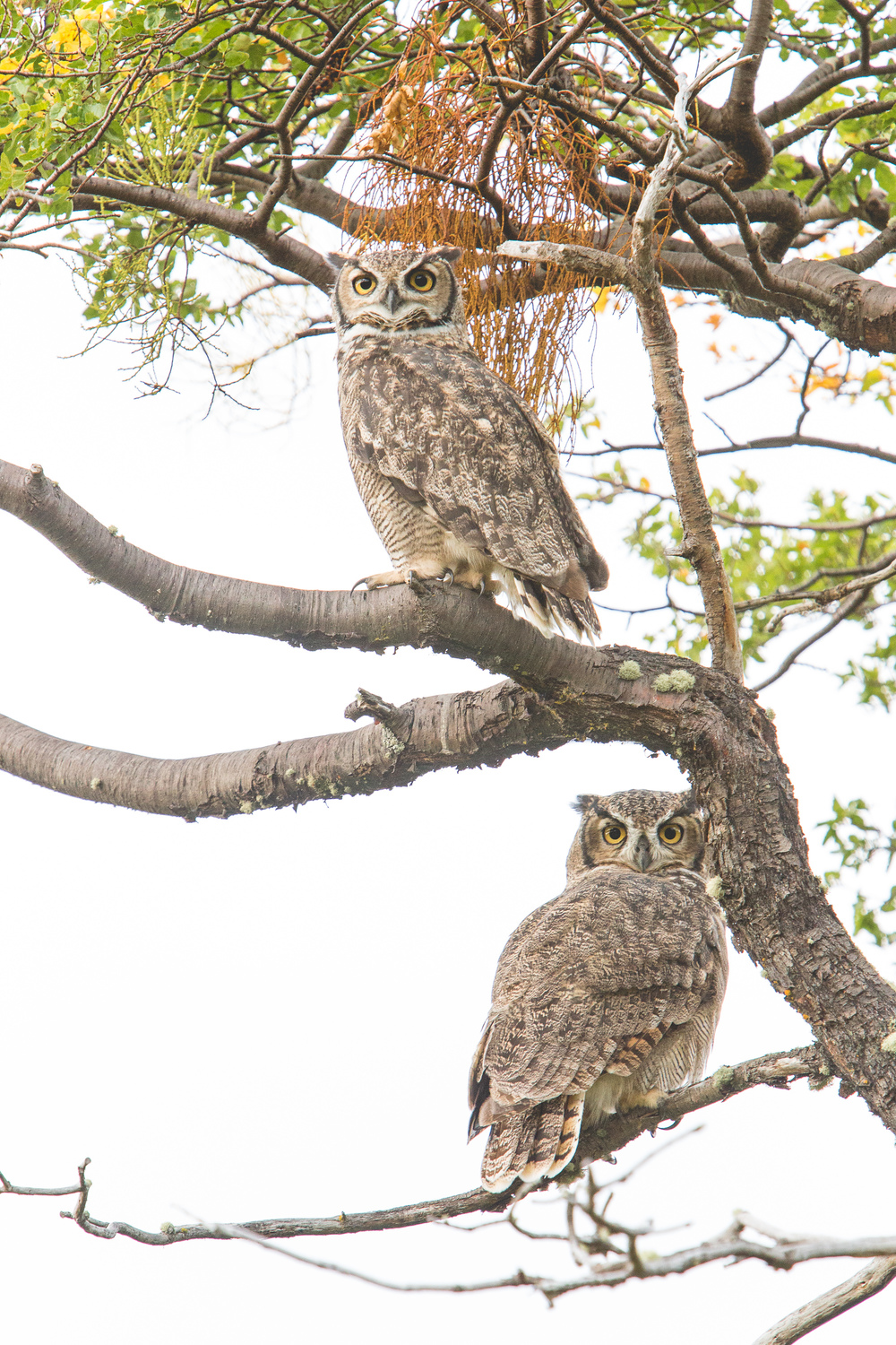 A pair of tucúquere (Lesser horned owl) hang out at base camp of the trek, near the estancia.