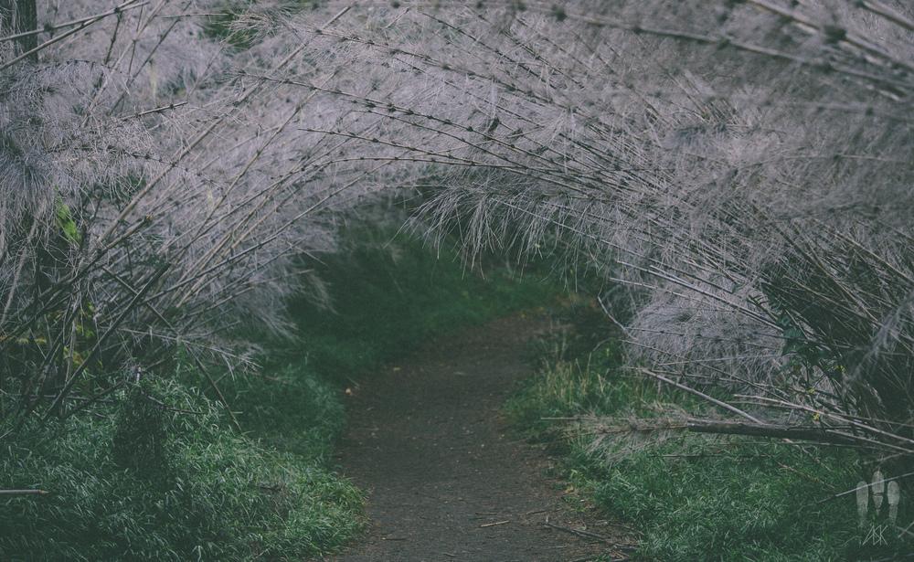 Chusquea culeou bamboo forest.