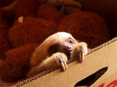 baby sloth.jpg