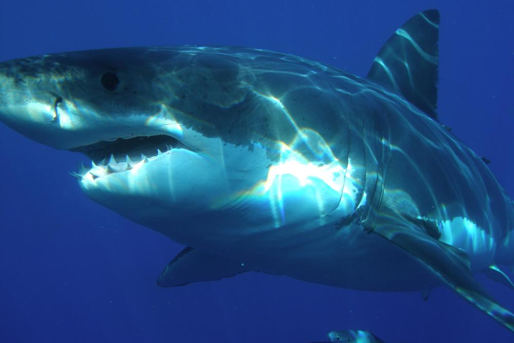 atlantic white shark conservancy atlantic white shark conservancy awsc supports scientific research educates the community and improves public safety awsc is a nonprofit
